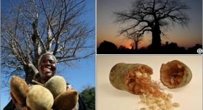 Баобаб – емблемата на Африка