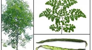 Моринга – дървото, което никога не умира
